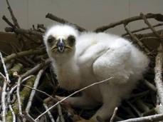 Aguila Polluelo Fabula Aguila Gallina