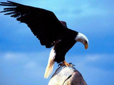 Aguila Sobre Piedra Fabula Aguila Gallina